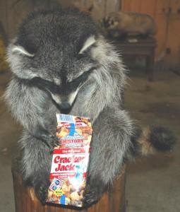 Tammy-Bruces-Pet-Raccoon